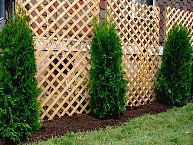 Fast Growing Arborvitae