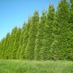 Fast Growing Evergreens