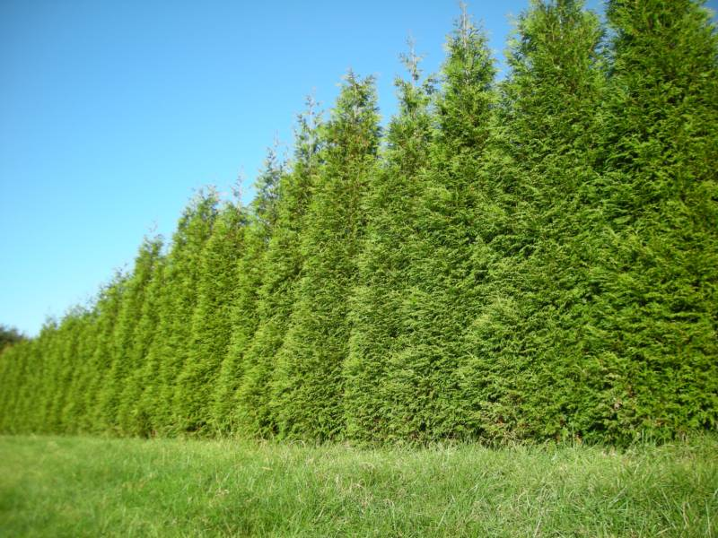 Fast growing evergreens trees we should know home