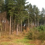 Fast Growing Pine Trees