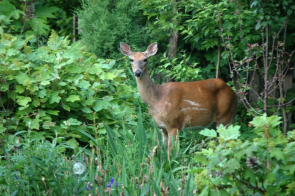 Keeping Deer Out Of Garden