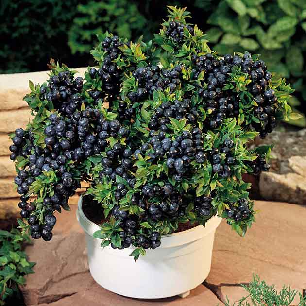 Raising Blueberries In Pots