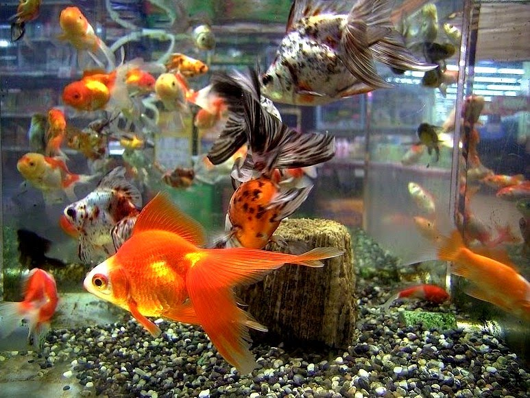 goldfish aquarium decorations home decor report