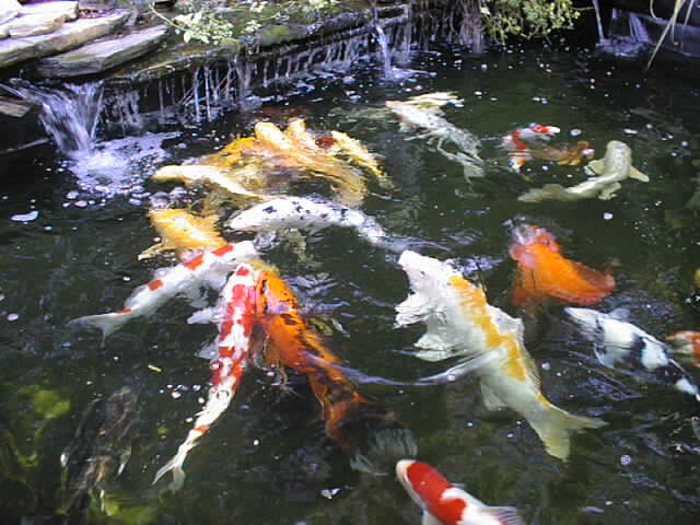 Tips to create koi fish ponds home decor report for Koi pond depth