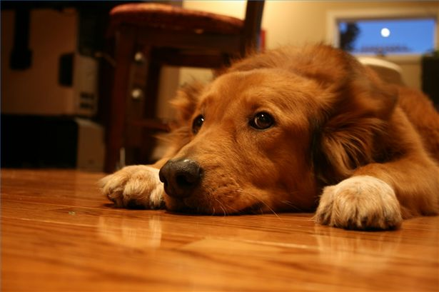 Protect Hardwood Floors From Dogs