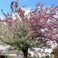 Ornamental Cherry Trees Types